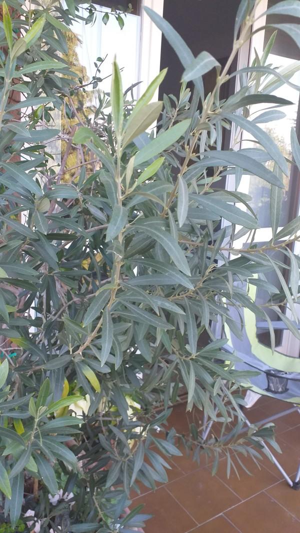 Ulivo -Domenica delle Palme 2020_04_05